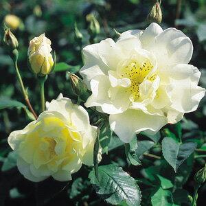 バラ苗 ウィンドラッシュ 国産大苗7号鉢 イングリッシュローズ 黄色系