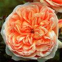 エブリン EVELIN     イングリッシュローズ    きわだって大輪の花。花形は浅い皿状で多数の花弁が曲がりこんでロゼッタ形になる美しい人気花です。   【お祝い・記念日・誕生日・フラワーギフト・バラ】  バラ大苗 イングリッシュローズ  エブリン 大苗7号鉢(輸入苗) 四季咲き大輪 オレンジ系 【09年2月中旬〜順次発送となります。】     販売期間 2008年10月15日09時00分〜2009年06月30日23時59分  通常販売価格 3,500円 (税込 3,675 円) 送料別