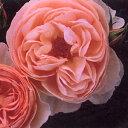 ヘリテージ Heritage     イングリッシュローズ    このバラは、もっとも美しいイングリッシュローズの一つで、淡いピンクの花を次々と咲かせます。樹勢は旺盛で、シュートをよくだし、大きなシュラブを形成します。   【お祝い・記念日・誕生日・フラワーギフト・バラ】  バラ大苗 イングリッシュローズ  ヘリテージ 大苗7号鉢(輸入苗) 四季咲き中輪 ピンク系 【09年2月中旬〜順次発送となります。】     販売期間 2008年10月15日09時00分〜2009年06月30日23時59分  通常販売価格 3,500円 (税込 3,675 円) 送料別