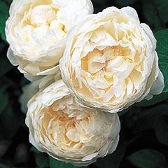 バラ苗 グラミスキャッスル 国産大苗7号鉢白系 イングリッシュローズ