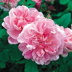 【温かみのある、輝くようなピンクのシャローカップ咲きの中輪。比較的まっすぐに伸びる。アー...