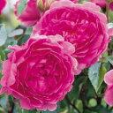 バラ苗【即納OK!】今年の秋お花が見られるバラ苗 イングリッシュローズ ウィズリー 大苗7号...