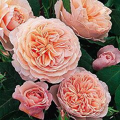 【丈の高いシュラブで花色はアプリコットピンク、花形はロゼット。耐病性、四季咲き性に優れる...
