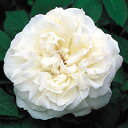 バラ苗 ウィンチェスターキャシドラル 6号鉢(輸入苗) 白系イングリッシュローズ【バラ】【...