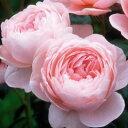 【花はカップ咲きの淡いピンクの花が咲きます。高さは低?中程度、真っ直ぐ伸びます】予約苗 バ...