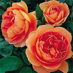バラ苗 パットオースチン 国産大苗7号鉢オレンジ系 イングリッシュローズ