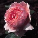 【とても大きな球形のクリアピンクの花は、シャクヤクに近いです】バラ苗 ブラザーカドフィール...