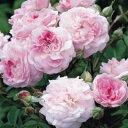 バラ苗 イングリッシュローズ ローズムーア 大苗7号鉢 四季咲き中輪 ピンク系タイムセール