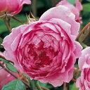 【オールドローズの性格をもった美しいバラです】バラ苗 アランティッチマーシュ 輸入大苗6号鉢...