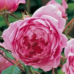 【オールドローズの性格をもった美しいバラです】予約苗 バラ苗 アランティッチマーシュ 輸入大...