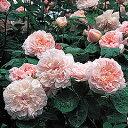 【淡いピンク色で甘い香りの繊細なオールドローズの香りがします】バラ苗 マサコ(エグランタイ...