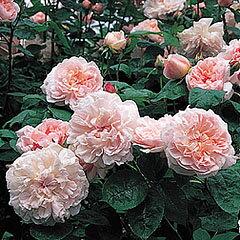バラ苗 マサコ(エグランタイン) 国産大苗7号鉢ピンク系 イングリッシュローズ