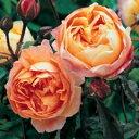 【フルーティーな香りで、オレンジ色にイエローオレンジが混じります】予約苗 バラ苗 レディエ...