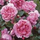 【棚卸セール】バラ苗 シスターエリザベス 7号鉢(国産) ピンク系 イングリッシュローズ ...