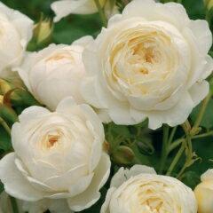 バラ苗 クレアオースチン 国産大苗7号鉢白系 イングリッシュローズ
