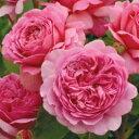 バラ苗 プリンセスアレキサンドラオブケント 大苗ER6L専用角鉢入 ピンク系 イングリッシュローズ