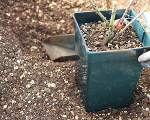 7号角鉢でバラを育てる ROSE FACTORY 植え替えセット