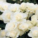 即納苗 バラ苗 アイスバーグ 国産苗 新苗植え替え6号鉢フロリバンダ(FL) 四季咲き中輪 白系バラ