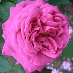 バラ苗 マダムイザックペレール 国産大苗7号鉢オールドローズ 返り咲き大輪 ピンク系