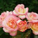 バラ苗 カリフォルニアドリーミング 国産大苗6号スリット鉢ハイブリッドティー(HT) 四季咲き大...