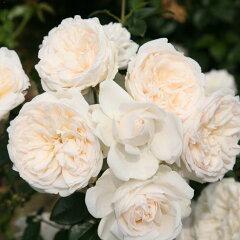 バラ苗 サマーメモリーズ 国産大苗6号スリット鉢つるバラ(CL) 四季咲き 白系