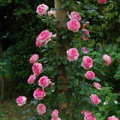 バラ苗 つるヒストリー 国産大苗6号スリット鉢つるバラ(CL) 四季咲き ピンク系