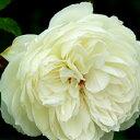 バラ苗 ボレロ 国産新苗4号ポリ鉢フロリバンダ(FL) 四季咲き中輪 白系
