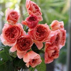 バラ苗 かおりかざり 国産新苗4号ポリ鉢 ハイブリッドティー(HT) 四季咲き大輪 オレンジ系