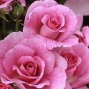 バラ苗 コティヨン 国産大苗6号スリット鉢 フロリバンダ(FL) 四季咲き中輪 ピンク系