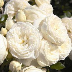 バラ苗 アルテミス 国産大苗6号スリット鉢つるバラ(CL) 四季咲き 中輪 白系