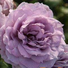 苗 バラ苗 ノヴァーリス 国産新苗4号ポリ鉢フロリバンダ(FL) 四季咲き中輪 紫系