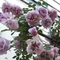 バラ苗 レイニーブルー 国産大苗6号スリット鉢つるバラ(CL) 四季咲き 紫系