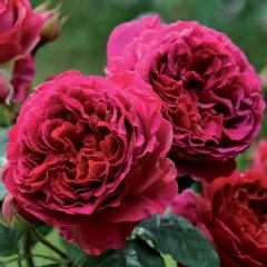 【美しい新種です。ディープクリムゾン色で完全ダブルのしっかりとしたロゼット咲きの大輪】予...