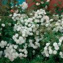 バラ苗 フランシーヌオースチン 輸入大苗6号鉢白系 イングリッシュローズ【小さく輝くような白...