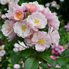バラ苗 マドモアゼル 国産大苗6号ロング鉢 四季咲き中輪ピンク系 フレンチローズ(デルバール)