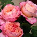 予約苗 バラ苗 マダムドゥスタール 国産大苗オリジナル角鉢7号 返り咲き ピンク…