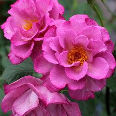 バラ苗 レスポワール 国産大苗6号ロング鉢 四季咲き ピンク系 ギヨーローズ(フレンチローズ)