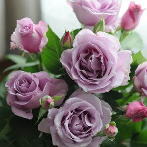 バラ苗 夜来香(イエライシャン) 国産大苗河本オリジナル角鉢6号 四季咲き 中輪 紫系