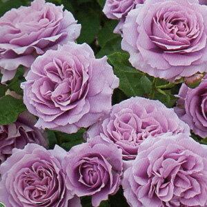 バラ苗 ラブソング 輸入大苗7号スリット鉢 四季咲き中輪 紫色系 ウィークスローズ
