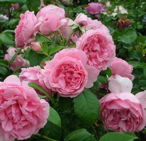 バラ苗 コンテスドゥセギョール 国産大苗デルバールオリジナル角鉢6号 四季咲き中輪 ピンク系 …