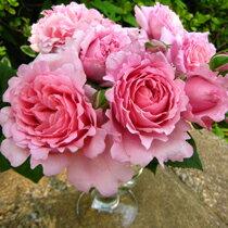 バラ苗 ビアンヴニュ 国産大苗6号ロング鉢 四季咲き中輪ピンク系 フレンチローズ(デルバール)