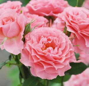 バラ苗 コラーユジュレ 国産大苗6号鉢 四季咲き中輪 ピンク系【ふんわりお菓子のようなバラ】