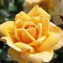 バラ苗  クッパーケニギン ハイブリッドティー (HT) 大苗6号鉢 四季咲き大輪 黄色系