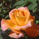 バラ苗 ケニギンベアトリックス 国産大苗6号鉢ハイブリッドティー(HT) 四季咲き大輪 オレンジ系