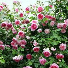 バラ苗 ジャスミーナ 国産大苗6号鉢つるバラ(CL) 返り咲き ピンク系