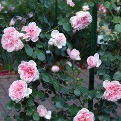 バラ苗 シンデレラ 国産新苗4号ポリ鉢つるバラ(CL) 四季咲き ピンク系