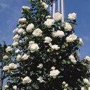 バラ苗 フラウカールドルシュキ 国産大苗6号鉢つるバラ(CL) 四季咲き 白系