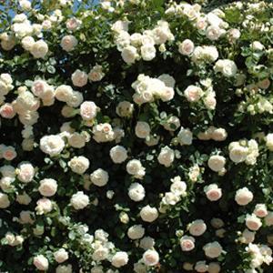 バラ苗 ブランピエールドゥロンサール 国産大苗6号鉢つるバラ(CL) 返り咲き アンティークタイプ...