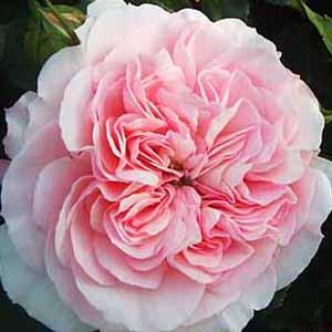バラ苗 マリアテレジア 国産大苗6号鉢フロリバンダ(FL) 四季咲き中輪 アンティークタイプ ピンク系