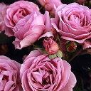 バラ苗 しのぶれど 国産苗 大苗6号鉢フロリバンダ(FL) 四季咲き中輪 アンティークタイプ 紫系